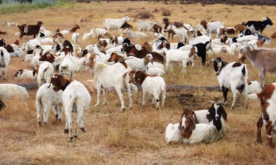 Google Goats Mowing The Brush